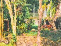 Harimau Kebun Binatang Ragunan